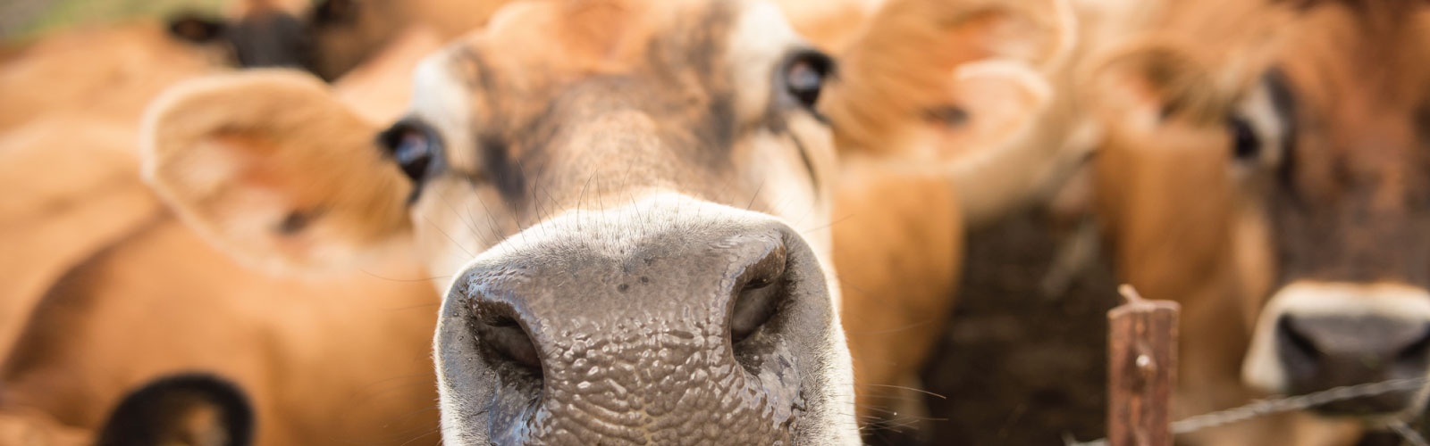A close up photo of a cow overlaid with the Tillamook logo
