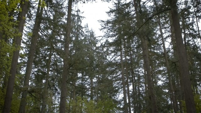 Photo of trees in Oregon from the opening sequence of the video on this page